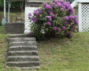 Our Rhododendron bush in full bloom in our front yard.